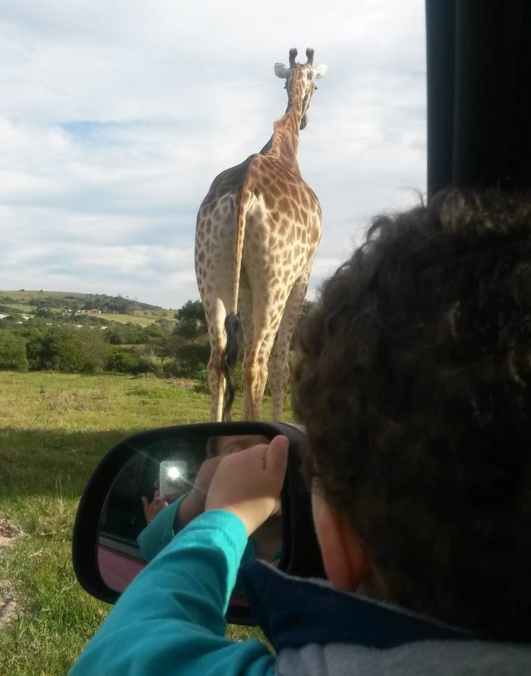 Giraffe through car window