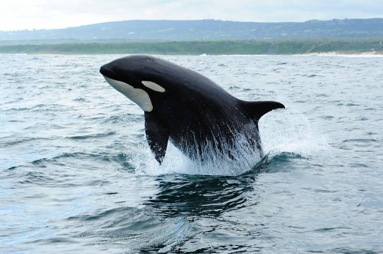 Orcas or 'Killer Whales' (Orcinus orca)